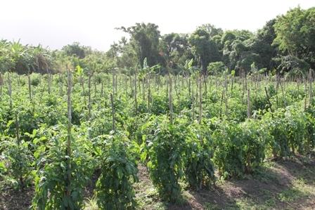 The tomato section of Mansa Tyson's Farm at Cades Bay