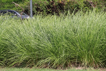 Grass grown on the Nevis Craft House Grounds used for handmade straw items