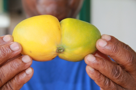 Another view of the second twinned Amory Polly mango harvested from the second crop of a seven year old tree from the backyard garden of Mr. Joseph Woolward of Ramsbury