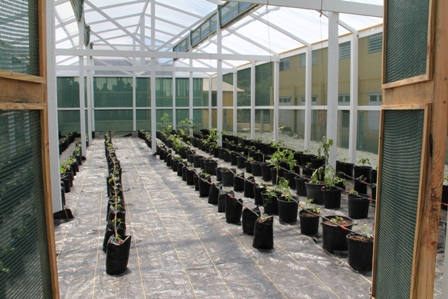 Vegetable plants under a mechanical drip irrigation and fertilizer system inside the green house at the Charlestown Secondary School
