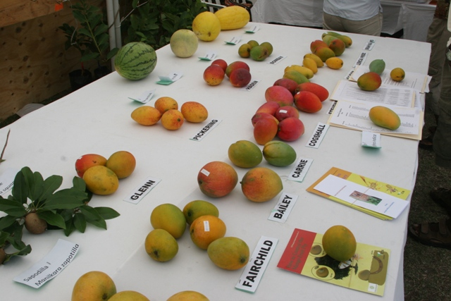 Several varieties of mangoes found on Nevis on display at the Department of Agriculture's Fruit Festival on Nevis (file photo)