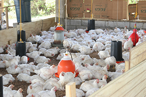 Chickens at a locally owned poultry farm