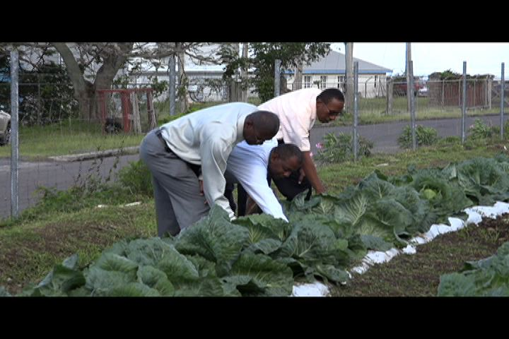 Permanent Secretary in the Ministry of Agriculture Eric Evelyn (middle) Director of Agriculture Keithley Amory (left) and Agriculture Officer Quincy Bart (right) at the experimental cabbage plot at the Prospect Agricultural Station on January 13, 2014