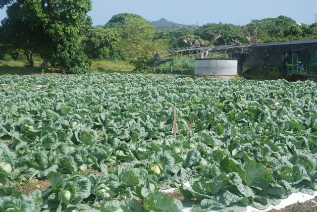 A section of the ½ acre plot under cabbage cultivation by the Department of Agriculture at the Prospect Agricultural Station