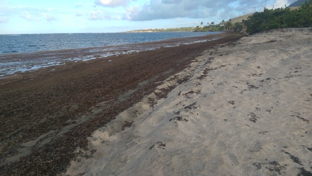 An Atlantic coast beach on Nevis affected by Sargassum seaweed