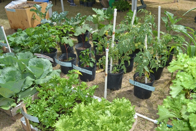 Plants from the Plant Propagation Unit on display at the Department of Agriculture's 24th Annual Open Day at the Villa Grounds in Charlestown