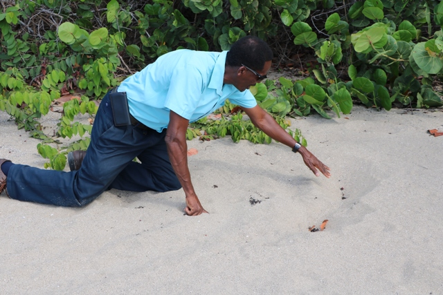Mr. Lemuel Pemberton, Deputy Director of the Marine Resources Department on Nevis indicating, on August 13, 2019, the area where a nesting hawksbill turtle was made immobile by poachers and dragged off Cades Bay Beach days before