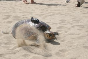 A hawksbill making its way back to Caribbean Sea on Pinney's Beach in 2008 after it was tagged with an electronic device by the Sea Turtle Conservancy, Four Seasons Resort and the Nevis Turtle Group (file photo)