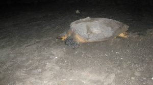 A turtle named Ginger by the Nevis Turtle Group, leaves the shores of Nevis after nesting on one of the island's beaches nine years ago (photo courtesy Nevis Turtle Group)