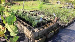 Some of the landscaping plants being propagated at a nursery in Cades Bay under the leadership of Mr. Vincent Lai, Consultant at the Taiwan Technical Mission in St. Kitts and Nevis who is spearheading the St. Kitts and Nevis Pinney's Beach Park Project on February 13, 2020