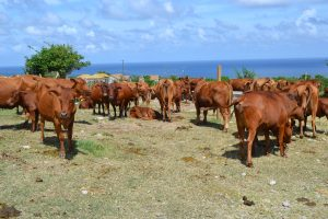 Livestock at the Department of Agriculture's farm in Maddens (file photo)