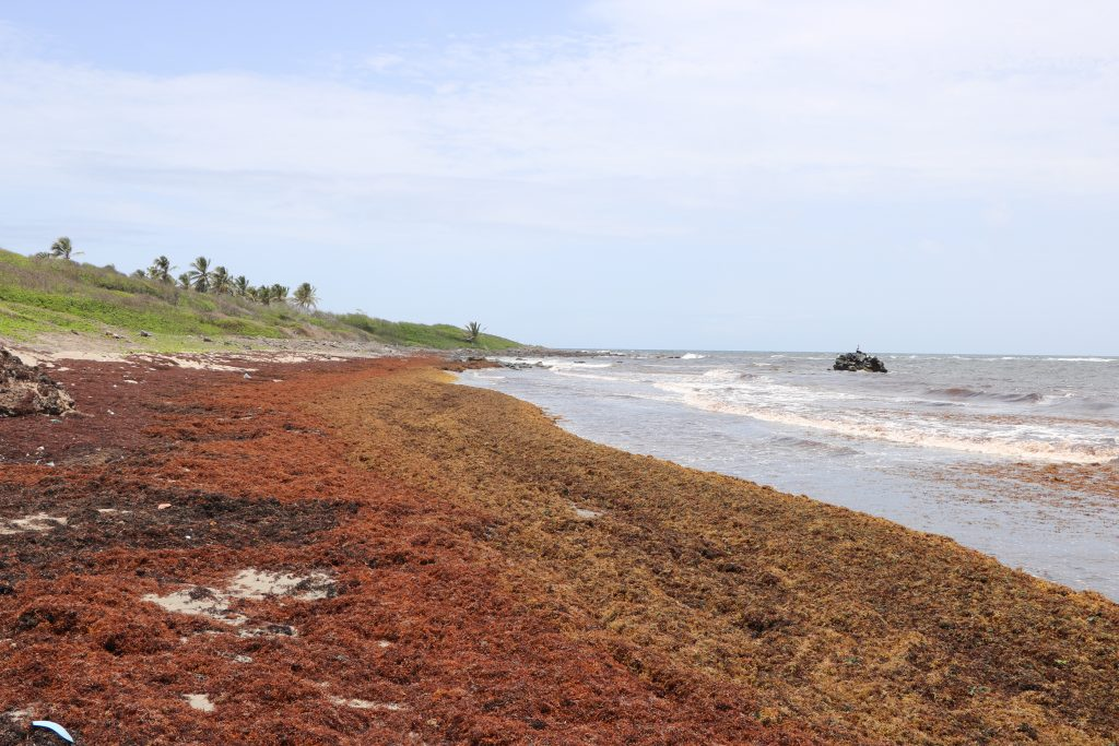 Sargassum seaweed lining the shores of Indian Castle Bay in Nevis on August 11, 2021